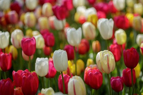 Tulip Tours Amsterdam
