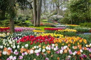 Tulip Tours Holland: colorful beauty of the Dutch tulipfields